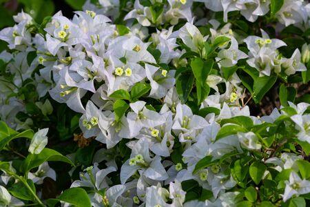 Blooming bougainvillea flowers background. Bright white bougainvillea flowers as a floral background. Bougainvillea flowers texture and background. Close-up view Bougainvillea tree with flowers.