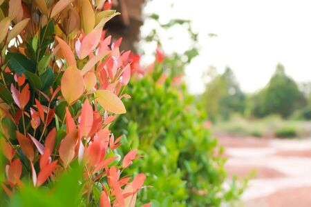 Christina, the bush trees with red and green leaves as Christmas color theme. Banque d'images - 149580606