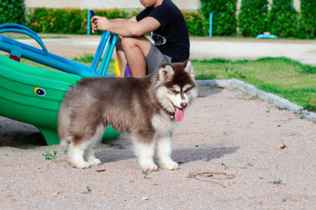 Cute siberian husky puppy in the playground. dog jumps on the playground.