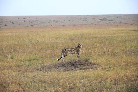catlike: Cheetah - Masai Mara - Kenya