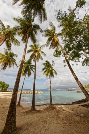 Coconut trees on Pointe du Bout beach - Les Trois Ilets - Martinique - FWI