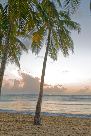 Coconut tree at the sunset in Salines beach - Sainte Anne - Martinique FWI
