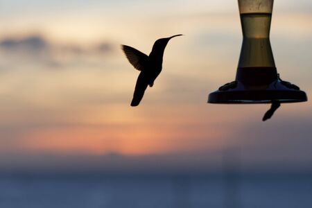 Hummingbird silhouette at the sunset