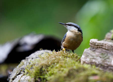 A photo of a Nuthatch bird Stock Photo