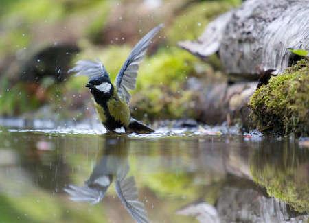 tom tit: A photo of a songbird