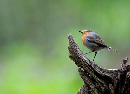 A photo of a Robin Bird