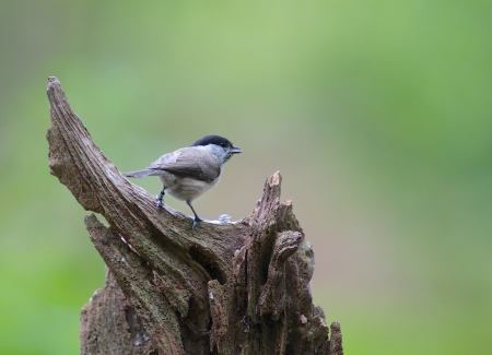 A photo of a blackcap Stock Photo
