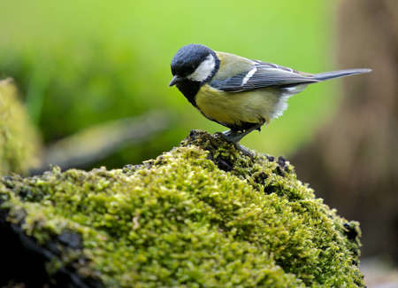 tom tit: A photo of a songbird