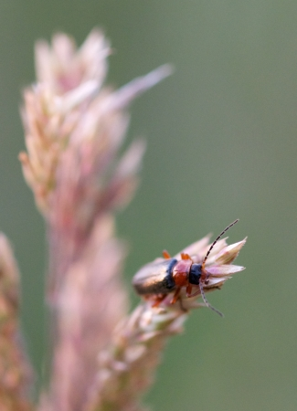 A photo of a beetle  Oulema melanopus