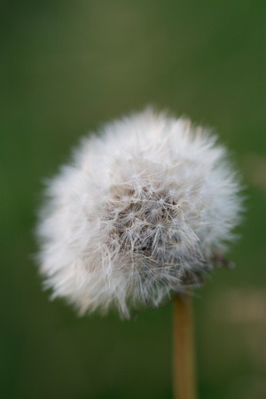 taraxacum: A photo of a flower  Taraxacum officinale  Stock Photo