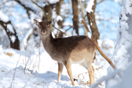 A photo of a deer in the snow Stock Photo