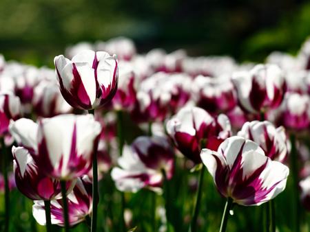 A photo of a Dutch Tulip.