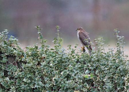 A photo of a eagle  Accipiter nisus  Stock Photo