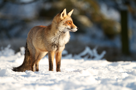 A photo of Fox in the snow