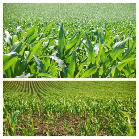 agrar: cornfield