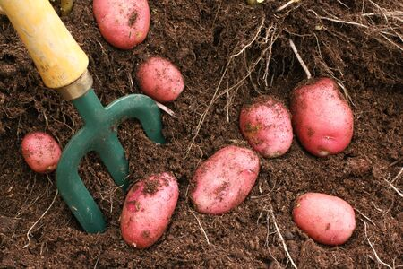 desiree: Desiree potatoes dug from the allotment soil