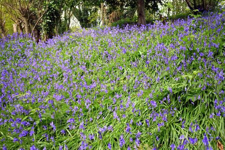 bell shaped: A carpet of bluebell flowers in a wood in the middle of spring with focus in the middle of the image