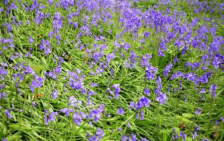 bell shaped: A carpet of bluebell flowers in the middle of spring with focus in the middle of the image