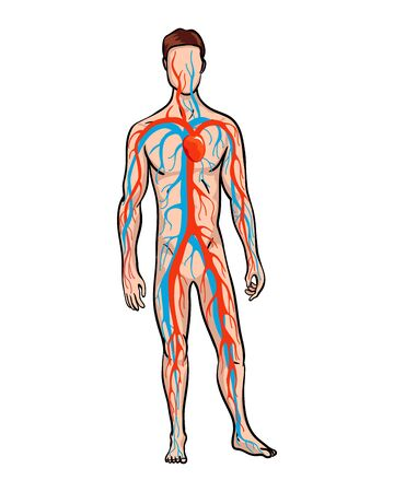 Male circulatory system. Vector illustration of blood circulation in human body. Human arterial and venous circulatory system.