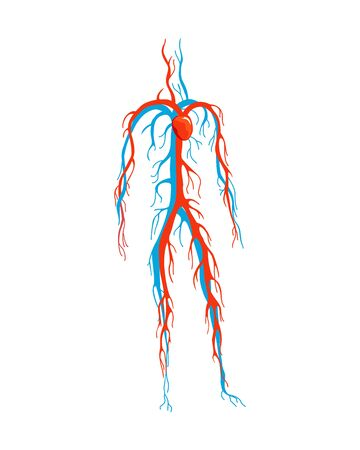 Male circulatory system. Vector illustration of blood circulation in human body. Human arterial and venous circulatory system