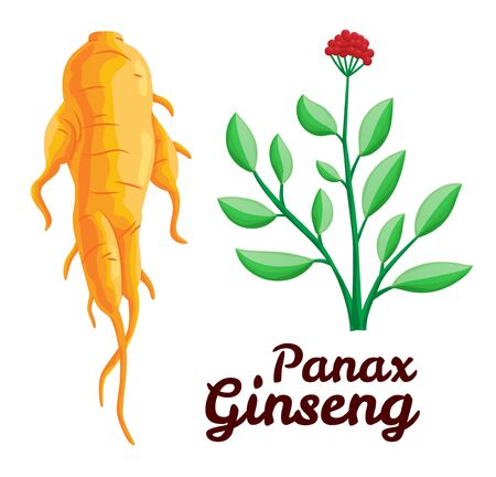 Root and leaves panax ginseng. Healthy lifestyle. For traditional medicine, gardening. Biological additives are. Vector colorful flat illustration of medicinal plants. Isolated on white background.
