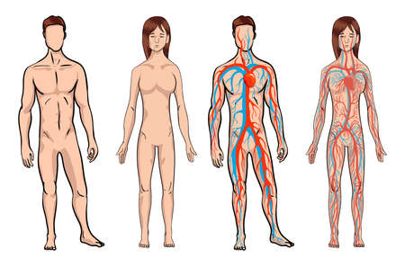 Circulatory system. Medical vector illustration anatomy of human body system. Male and woman circulatory system set on a white background. Body vitality. Vector illustration