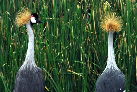 west african crowned crane side profile photo