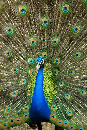Beautiful spread of a peacock Stock Photo - 16509803