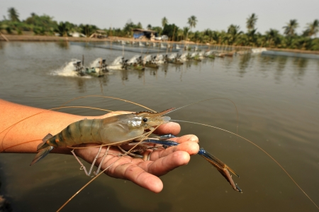 Giant river prawn in hand with shrimp farm background  Macrobrachium rosenbergii
