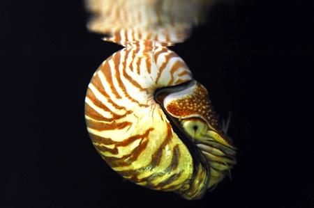 mollusca: living nautilus swimming  Stock Photo