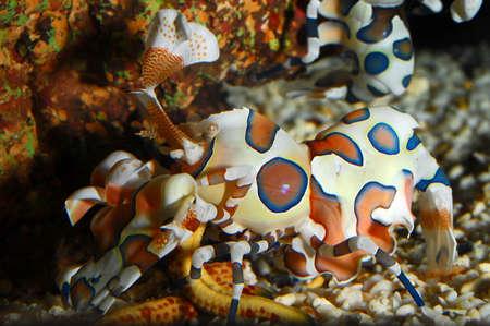 elegans: Harlequin Shrimp, Hymenocera elegans