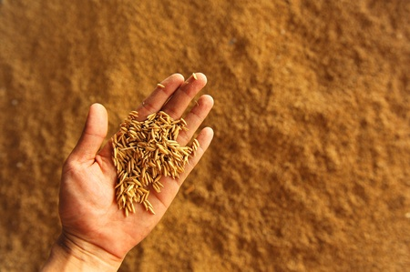 a photo of rice on hand.