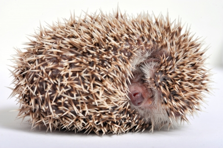 Hedgehog isolate on white background  Stock Photo - 16603723