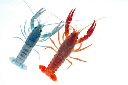 alive crayfish isolated on white background Stock Photo - 16603632