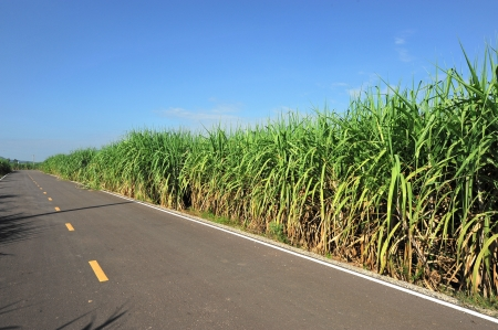 Road for the Sugar Cane Field, thailand photo