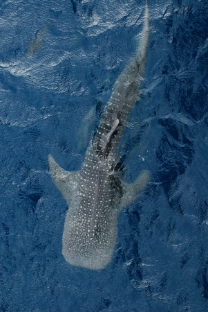 mujeres: Large Whale shark from top view