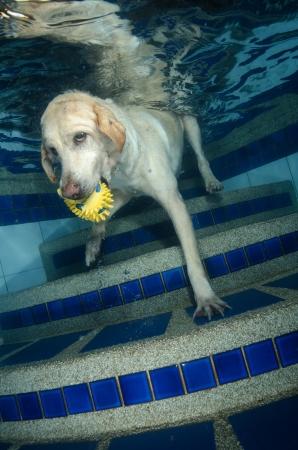 labrador teeth:  Beautiful Labrador retriever diving underwater