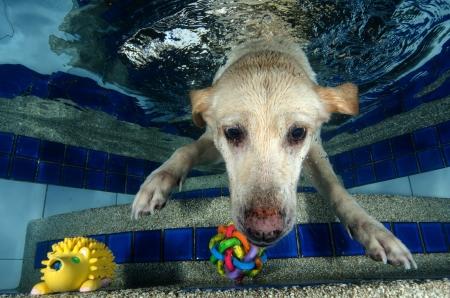 fetch:  Beautiful Labrador retriever diving underwater