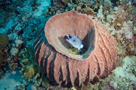 puffer in huge barrel sponge  photo
