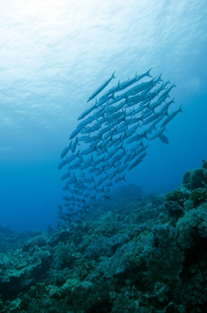 barracuda in group Stock Photo - 17442093