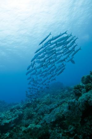 barracuda: barracuda in group
