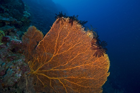 Sea fan Stock Photo - 17442246