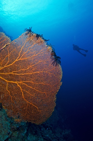 giant Sea fan and diver Stock Photo - 17442214