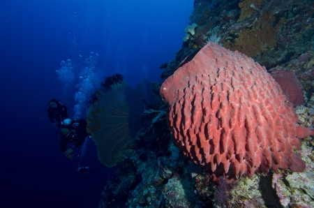 stovepipe: Stove-pipe Sponge and group of divers Stock Photo