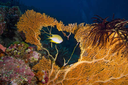 Tropical yellow fish swimming through a sea fan hole Stock Photo - 17442213