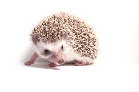 Hedgehog isolate on white background  Stock Photo - 17441993