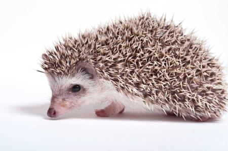 Hedgehog isolate on white background  Stock Photo - 17442077