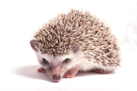 Hedgehog isolate on white background Stock Photo - 17442001