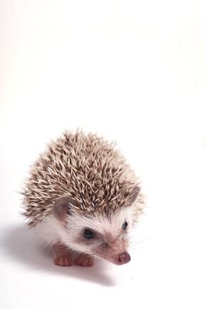 Hedgehog isolate on white background Stock Photo - 17441998