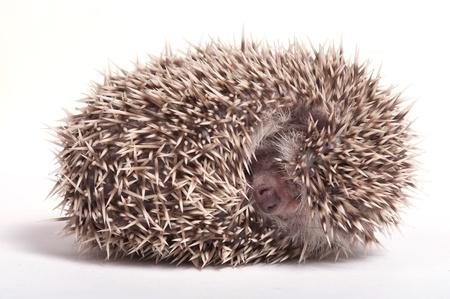 Hedgehog sleeping isolate on white background  Stock Photo - 17439700